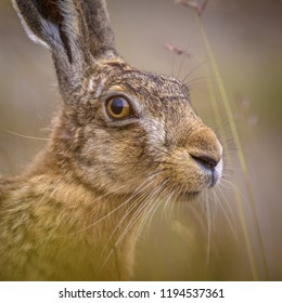 Portrait of vigilant European Hare (Lepus europeaus) hiding in grass and relying on camouflage