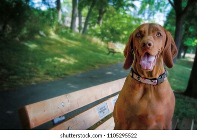 Portrait of a Vizsla