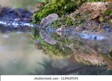 Portrait of a vole, Netherlands