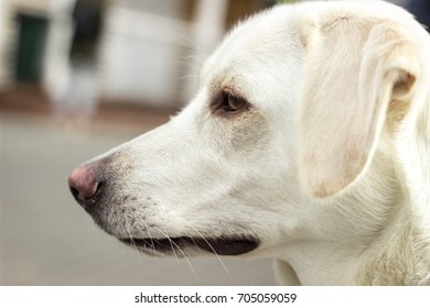 Portrait of waiting white labrador