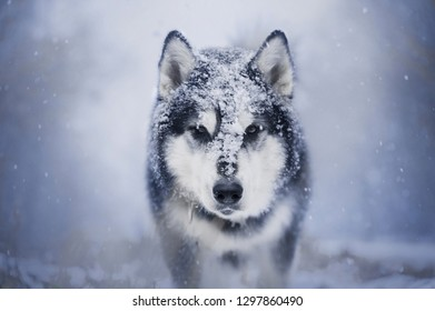 portrait of walking alaskan malamute dog with snow on the head. Front view