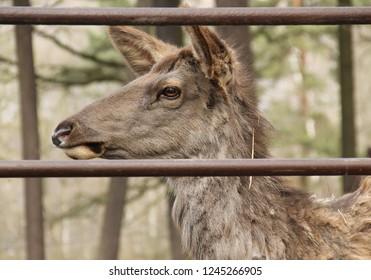 portrait of wapiti deer (Cervus canadensis) behind the fence in the ZOO