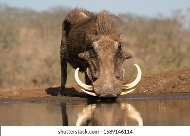 Portrait of a warthog with huge tuskers drinking