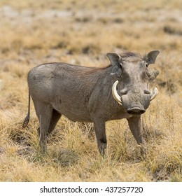 Portrait of a Warthog, seen in namibia, africa.