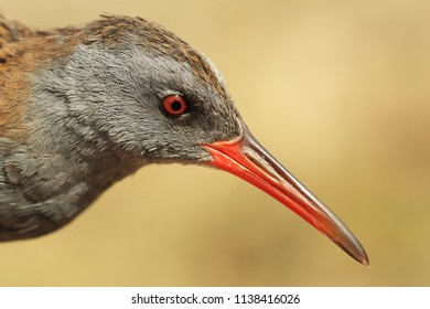 Portrait of water rail