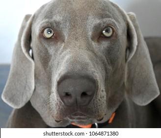 Portrait of a Weimaraner Dog