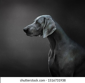 portrait of a weimaraner dog or braco de Weimar