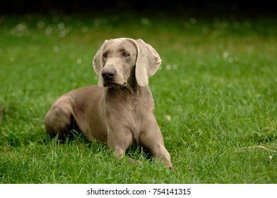 Portrait of Weimaraner dog. It is a hunting dog breed