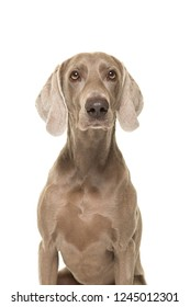 Portrait of a weimaraner dog looking at the camera isolated on a white background