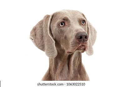 Retrato de un perro de Weimaraner en blanco