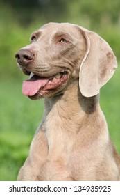 Portrait of Weimaraner Vorsterhund bitch on green background