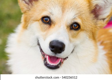 portrait of a Welsh Corgi Pembroke