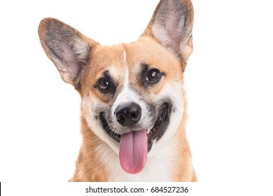 Portrait of a Welsh corgi Pembroke dog in studio in front of a white background