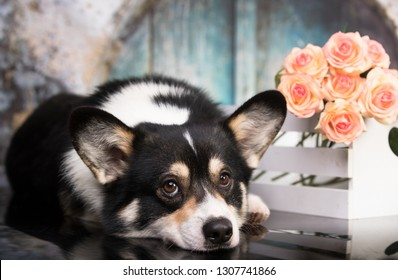portrait  welsh corgi, romantic corgi and a bouquet of flowers