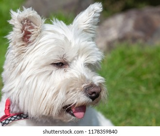 Portrait of a west highland terrier