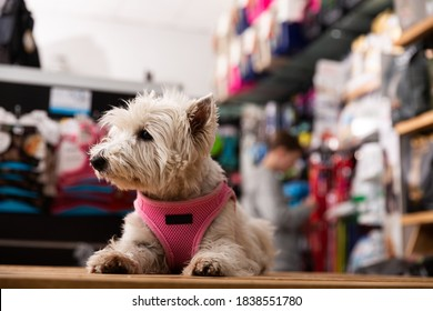 Portrait of West highland terrier dog in a pet store. High quality photo