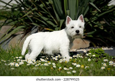Portrait West Highland terrier puppy in the garden