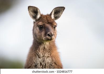 Portrait of a western grey kangaroo, Macropus fuliginosus, subspecies Kangaroo Island kangaroo.