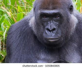 Portrait of a Western lowland gorilla (Gorilla gorilla gorilla).