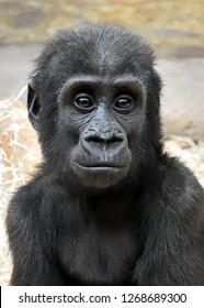 Portrait of the Western lowland gorilla (Gorilla gorilla gorilla) baby