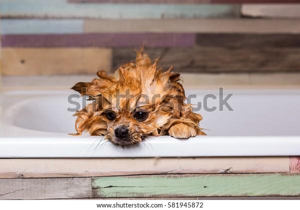 portrait wet dog in the shower bath
