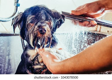 Portrait of a wet dog. Toned image. Yorkshire Terrier in the bathroom in the beauty salon for dogs. in the washing process close