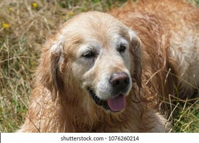 Portrait of a wet Golden Retriever