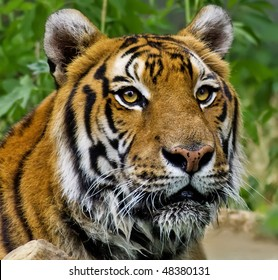 Portrait of a wet Tiger, taking a bath
