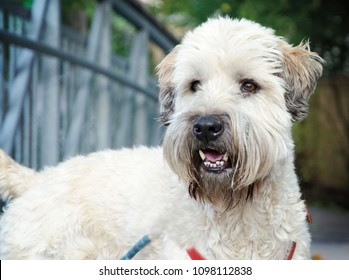 Portrait of a Wheaten Terrier