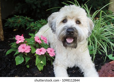 Portrait of a Wheaten Terrier