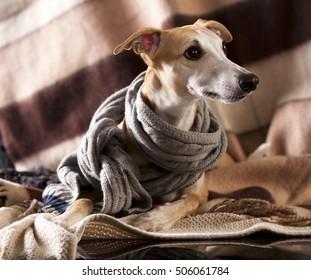 318f4cfa1156c Portrait Whippet Puppies Stock Photo (Edit Now) 472666696 - Shutterstock