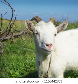 Portrait of white adult goat grassing on green summer meadow