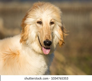 Portrait of white Afghan hound.The Afghan Hound is a hound that is distinguished by its thick, fine, silky coat.The breed was selectively bred for its unique features in the mountains of Afghanistan