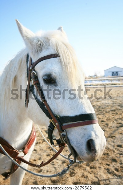 Portrait of white Arabian horse with and attitude
