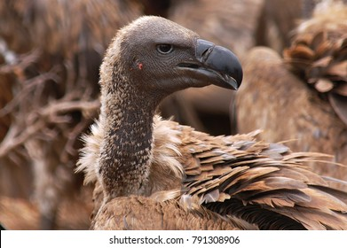 Portrait of a white backed vulture.