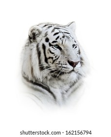 Portrait Of A White Bengal Tiger On White Background