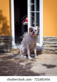 Portrait of a white boxer dog sitting on a wooden deck