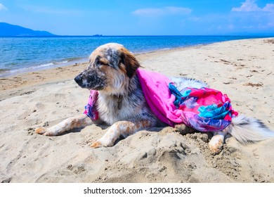 Portrait of white, brown and black large breed dog in colorful pink clothes relaxing at