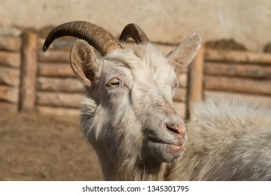 portrait of a white brown goat on a farm. Close up. Goat family living in permafrost conditions