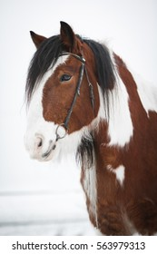 Portrait of white and brown Irish Cob during winter.