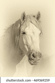 Portrait of the White Camargue Horses in Parc Regional de Camargue - Provence, France (stylized retro)
