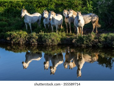 Portrait of the White Camargue Horses reflected in the water. France