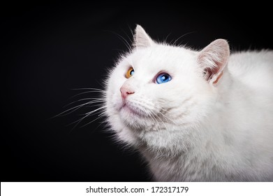 Portrait of white cat with different eye color