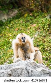 Portrait of White cheeked Gibbon, Thailand
