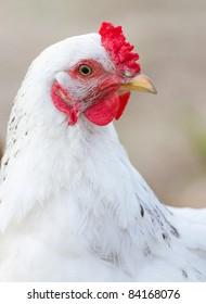 Portrait of white chicken