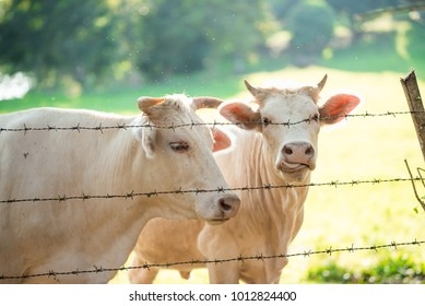 Portrait of white cows in the cage