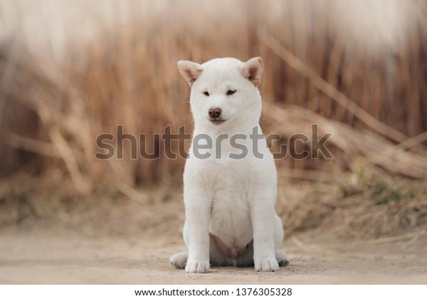Portrait White Cream Puppy Shiba Inu Stock Photo (Edit Now