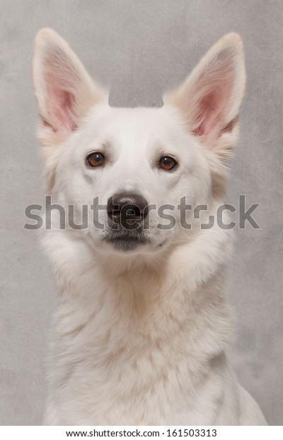 Portrait of a  white dog