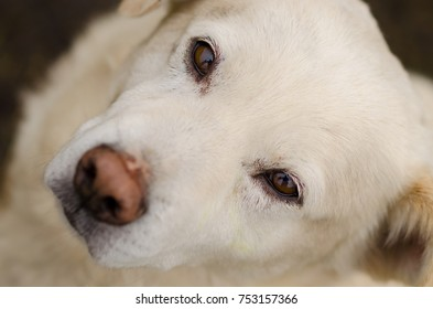 portrait of white dog with a deep look. close-up, brown eyes.