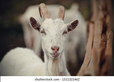 Portrait of a white goat in the barnyard